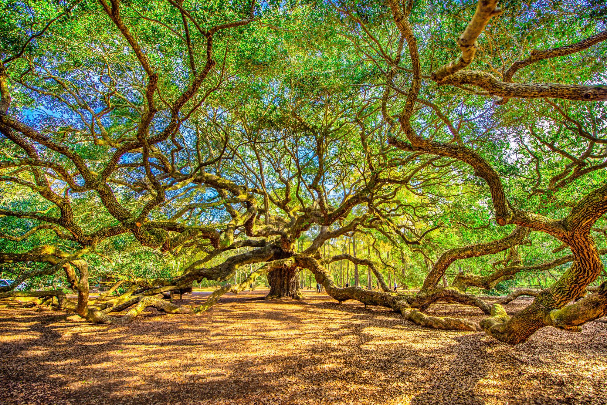 Healthy Angel Oak Tree