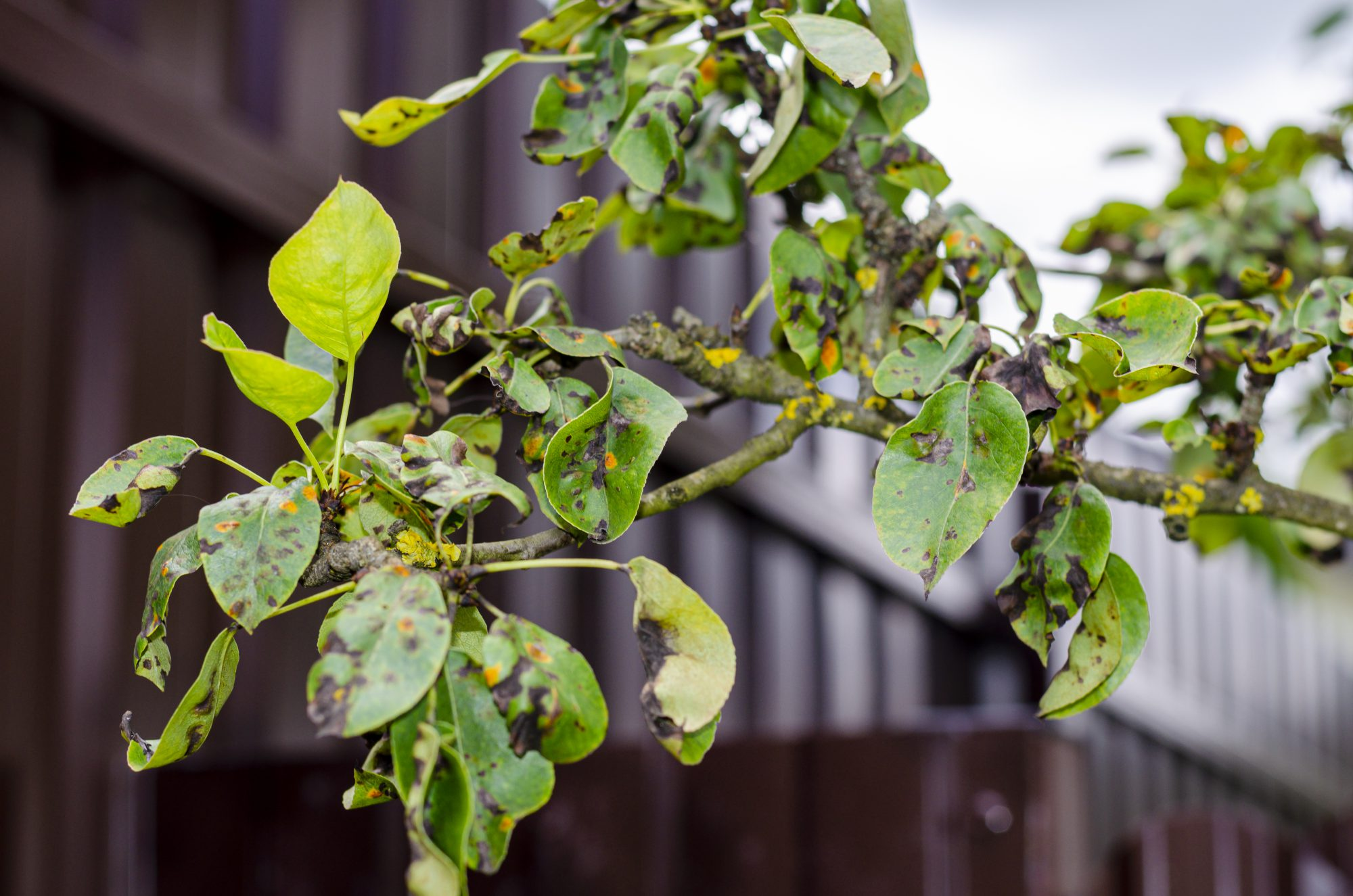 Leaves of fruit trees affected by fungal diseases