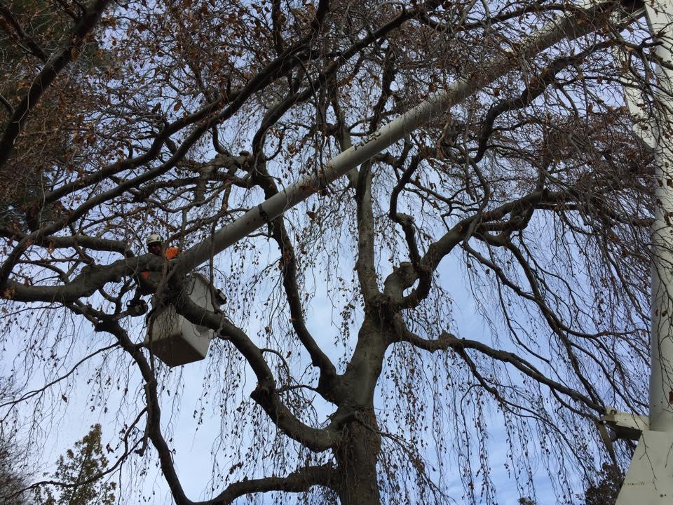 Man pruning a tree